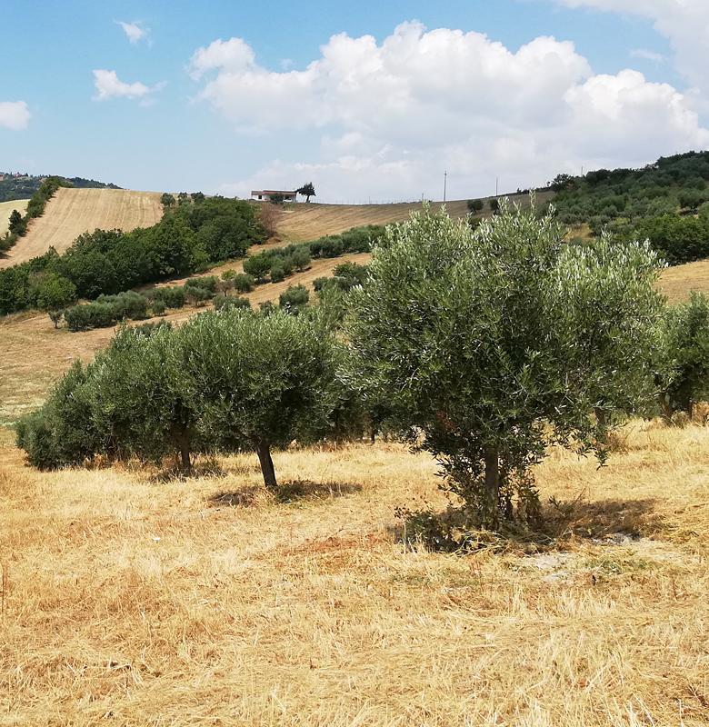oliveti_1