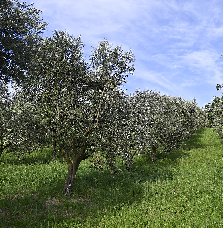 oliveti_1a