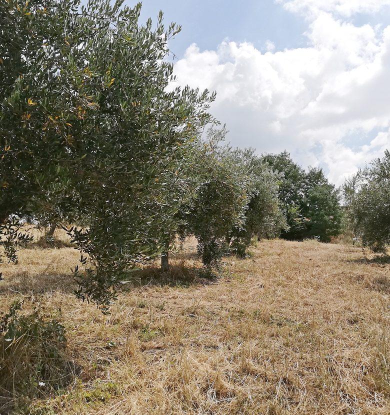 oliveti_13